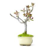 Japanse krabappel, 21 cm, ± 8 jaar oud met roze bloemen, in een kapotte pot