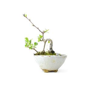 Mela granchio giapponese, 13 cm, ± 8 anni
