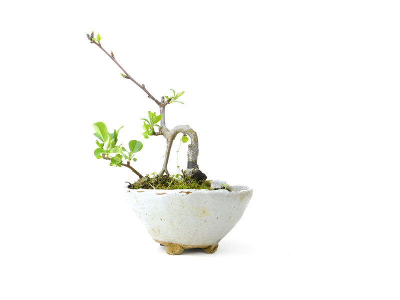 Micro Malus, 13 cm, ± 8 jaar oud met witte bloemen