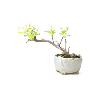 Japanese crab apple, 9 cm, ± 8 years old