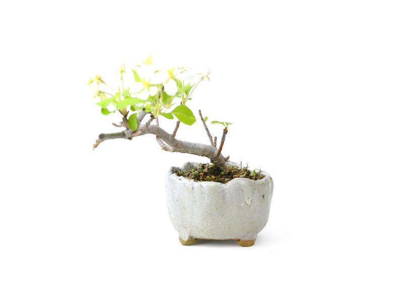 Japanse krabappel, 9 cm, ± 8 jaar oud met witte bloemen