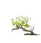 Micro Malus, 9 cm, ± 8 jaar oud met witte bloemen