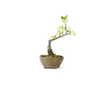 Mela granchio giapponese, 12 cm, ± 8 anni