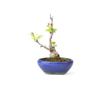 Mela granchio giapponese, 13 cm, ± 10 anni