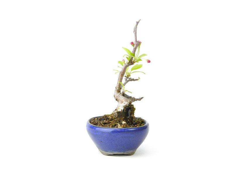 Micro Malus, 13 cm, ± 10 jaar oud met witte bloemen