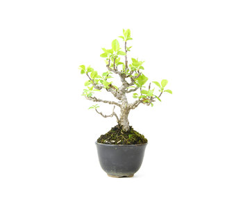 Japanese crab apple, 17 cm, ± 12 years old