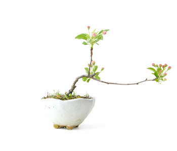 Japanese crab apple, 15 cm, ± 8 years old