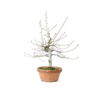 Faggio bianco giapponese o faggio Siebold (Buna), 44 cm, ± 40 anni