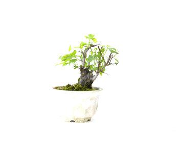 Prugna giapponese (Yabai), 10 cm, ± 8 anni