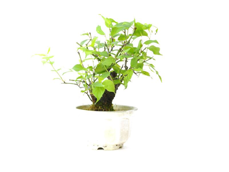 Japanse pruim (Yabai), 14 cm, ± 8 jaar oud met aan het einde van de winter witte bloemen
