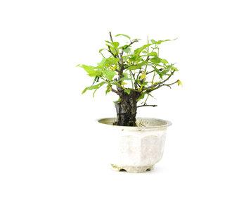 Japanese plum (Yabai), 11 cm, ± 8 years old