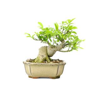 Albero mandrino (Mayumi), 12 cm, ± 15 anni