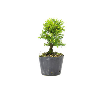 Japanese cedar (Sugi), 13 cm, ± 8 years old