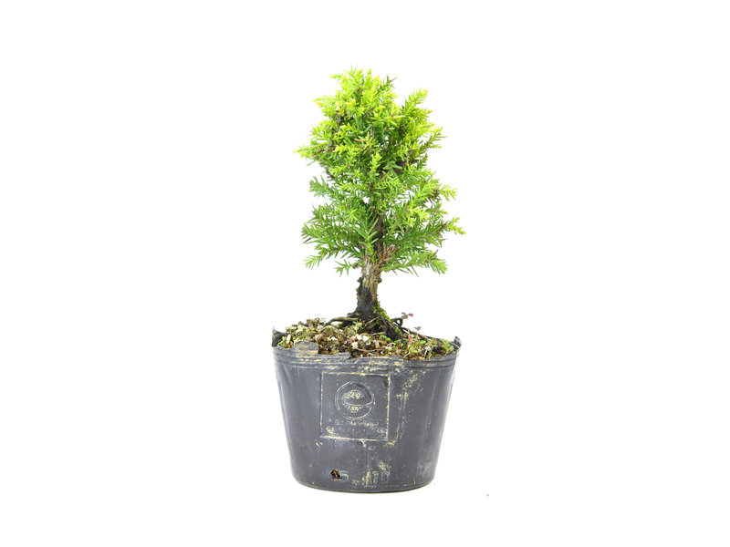Japanse ceder (Sugi), 13 cm, ± 8 jaar oud