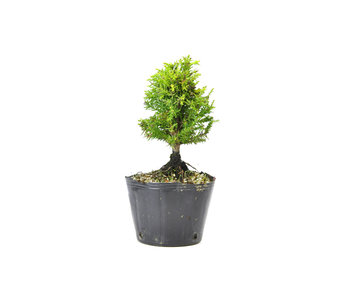 Japanese cedar (Sugi), 13,1 cm, ± 8 years old