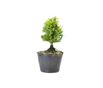 Japanse ceder (Sugi), 13,1 cm, ± 8 jaar oud