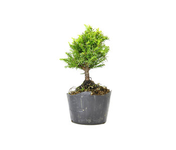 Japanese cedar (Sugi), 13,2 cm, ± 8 years old