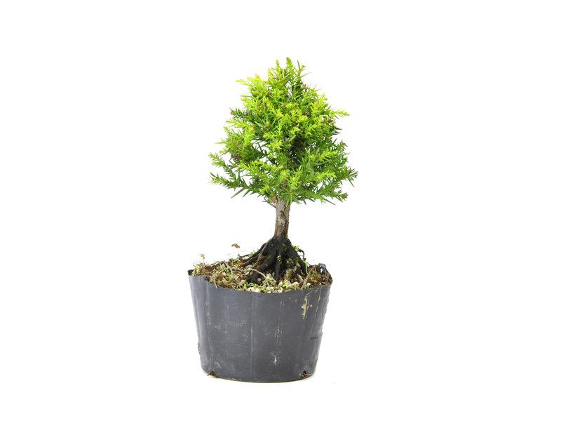 Japanse ceder (Sugi), 13,2 cm, ± 8 jaar oud