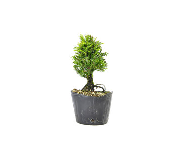 Japanese cedar (Sugi), 13,4 cm, ± 8 years old