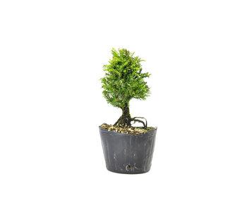 Japanse ceder (Sugi), 13,4 cm, ± 8 jaar oud