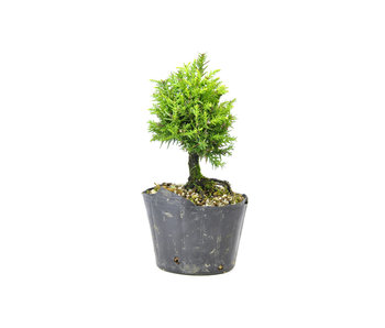 Japanese cedar (Sugi), 13,5 cm, ± 8 years old