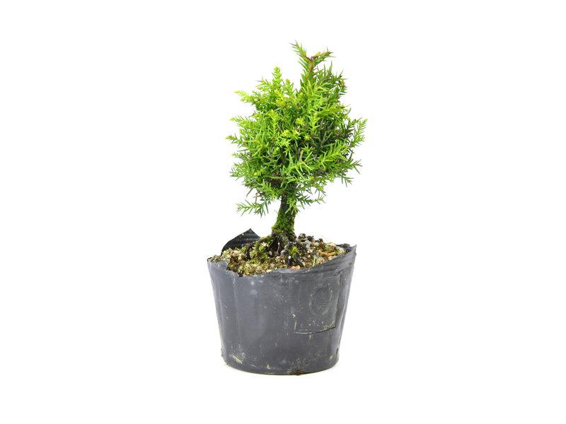 Japanse ceder (Sugi), 13,5 cm, ± 8 jaar oud