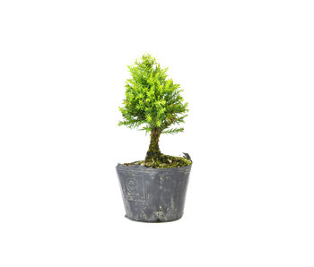 Japanese cedar (Sugi), 13,6 cm, ± 8 years old