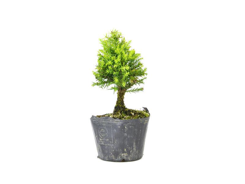 Japanse ceder (Sugi), 13,6 cm, ± 8 jaar oud