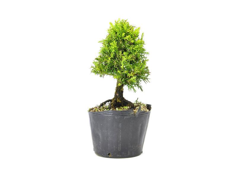 Japanse ceder (Sugi), 13,7 cm, ± 8 jaar oud