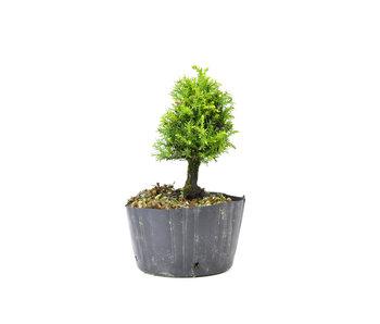 Japanse ceder (Sugi), 14,1 cm, ± 8 jaar oud