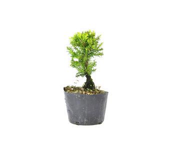 Japanse ceder (Sugi), 14,3 cm, ± 8 jaar oud