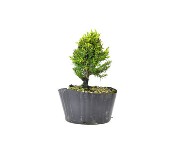 Japanese cedar (Sugi), 14,5 cm, ± 8 years old