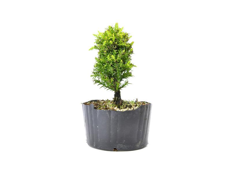 Japanse ceder (Sugi), 14,5 cm, ± 8 jaar oud