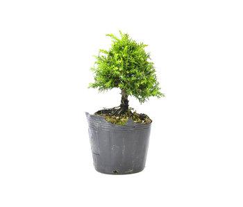 Japanse ceder (Sugi), 14,6 cm, ± 8 jaar oud
