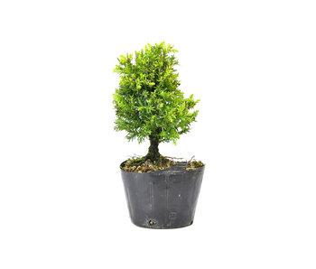 Japanse ceder (Sugi), 14,7 cm, ± 8 jaar oud