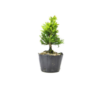 Japanese cedar (Sugi), 14,8 cm, ± 8 years old