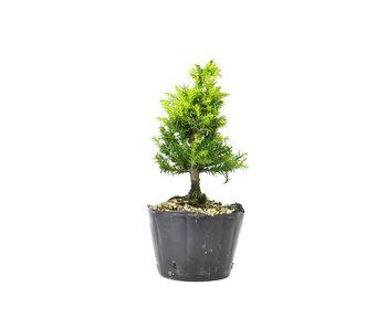 Japanse ceder (Sugi), 14,8 cm, ± 8 jaar oud