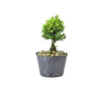 Japanse ceder (Sugi), 11 cm, ± 8 jaar oud