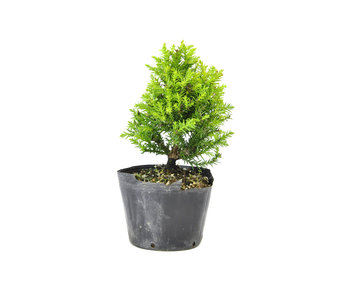 Japanese cedar (Sugi), 15 cm, ± 8 years old