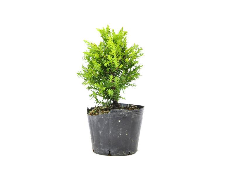 Japanse ceder (Sugi), 15 cm, ± 8 jaar oud