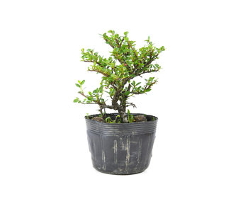 Little leaf cotoneaster, 13 cm, ± 7 years old