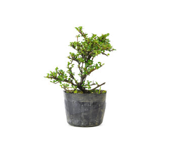 Little leaf cotoneaster, 14 cm, ± 7 years old