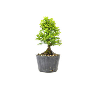 Japanese cedar (Sugi), 15,1 cm, ± 8 years old