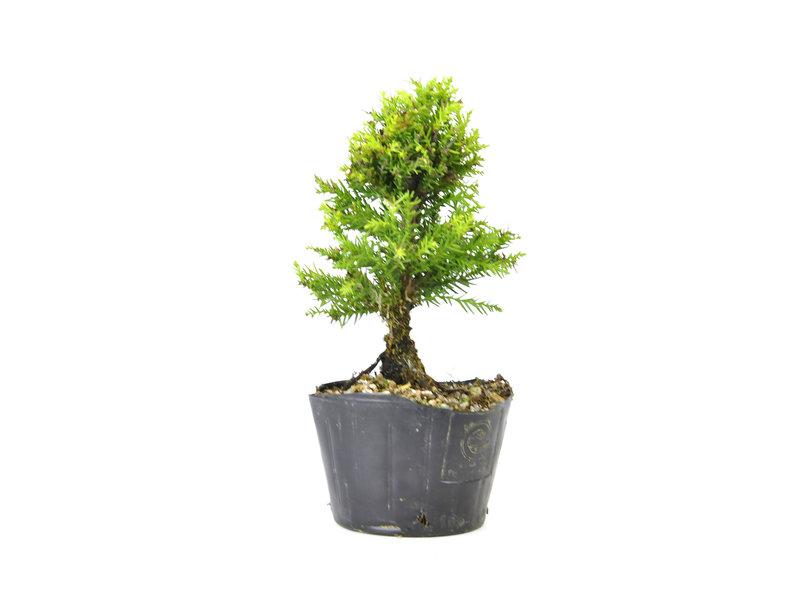 Japanse ceder (Sugi), 15,1 cm, ± 8 jaar oud