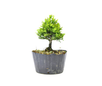 Japanese cedar (Sugi), 15,2 cm, ± 8 years old