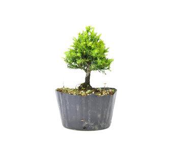 Japanse ceder (Sugi), 15,2 cm, ± 8 jaar oud