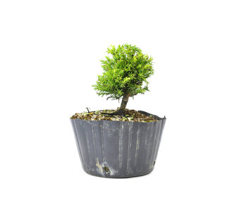 Japanse ceder (Sugi), 10 cm, ± 8 jaar oud