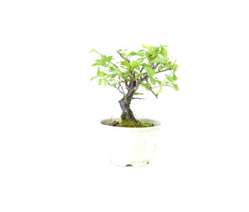 Japanse abrikoos (Yabai), 12 cm, ± 8 jaar oud