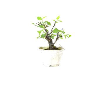Japanse abrikoos (Yabai), 11 cm, ± 8 jaar oud