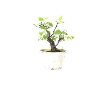 Prugna giapponese (Yabai), 11 cm, ± 8 anni